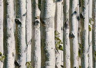 Grey birch tree home 3d wallpaper / no toxic Living Room Wallpaper Heat insulation